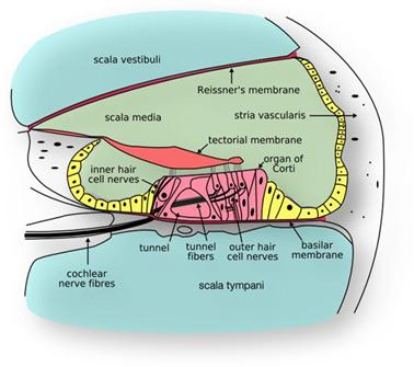 Cross-section of cochlea showing stria vascularis